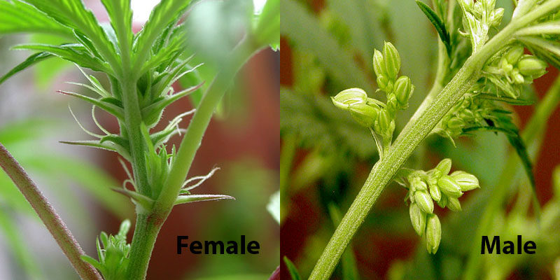 Male and Female Plants