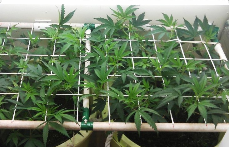 How to grow marijuana seeds with the screen of green scrog for Croissance cannabis interieur