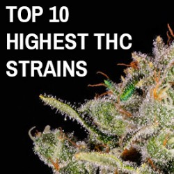 10 Highest THC Strains To Try In 2021