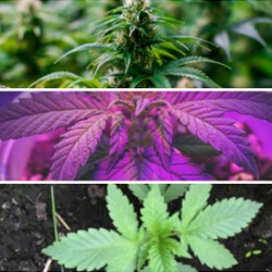 6 Tips To Grow Autoflowering Cannabis Indoors