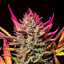Tips to Cultivate Autoflowering Cannabis Seeds