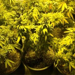 Ban on Patients growing their own Pot Struck Down