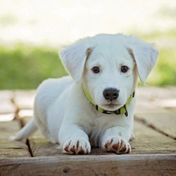 Does Your Dog Need CBD or Steroids A Guide for Dog Owners