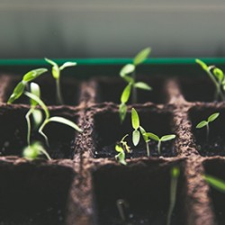 Tips and Tricks for Germinating Cannabis Seeds