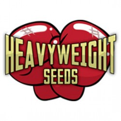 Heavyweight Cannabis Seeds are now in the Ring!