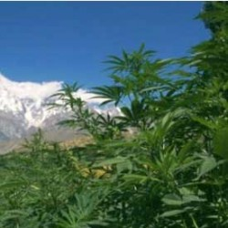 The Himalayas thrive on the Cannabis Production Trade