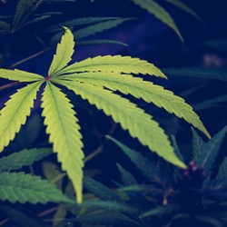 How To Fix And Prevent Cannabis Deficiencies?