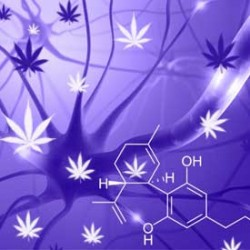 The Top 7 Strains most suited for Multiple Sclerosis
