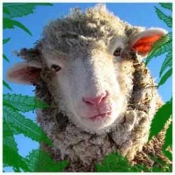 Stoned Sheep behaving baaadly, high are ewe??