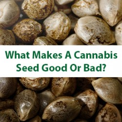 What Makes A Cannabis Seed Good Or Bad?