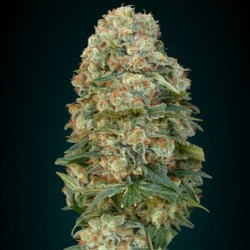 Afghan Skunk Cannabis Seeds