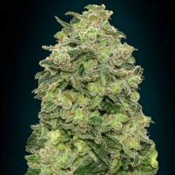 Auto Afghan Skunk Cannabis Seeds