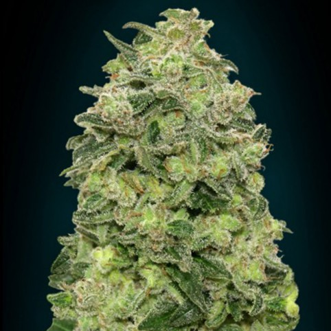 Auto Afghan Skunk - Cannabis Seeds