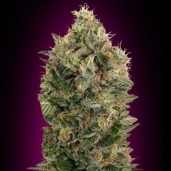 Auto Black Diesel Cannabis Seeds