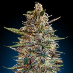 Advanced Automatic Collection #2 Cannabis Seeds