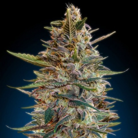 Auto Blue Diesel - Cannabis Seeds