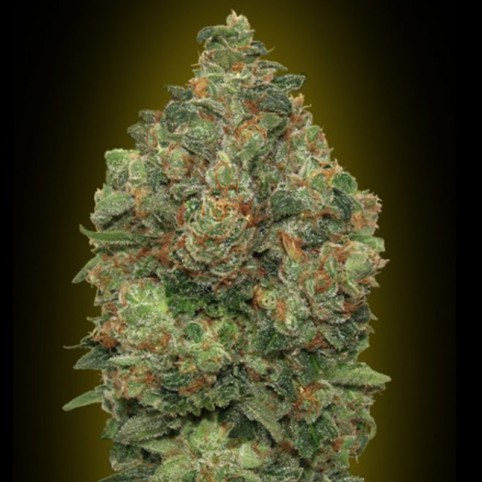 Auto Critical Soma Cannabis Seeds