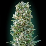 Advanced Automatic Collection #3 Cannabis Seeds