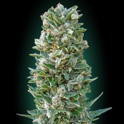 Auto Heavy Bud - Cannabis Seeds