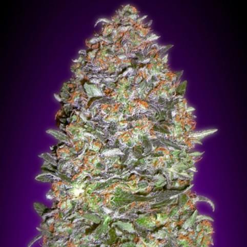 Auto NYCD - Cannabis Seeds