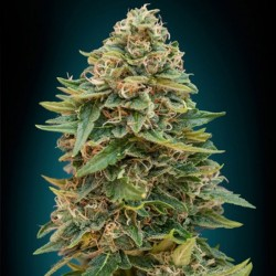 Auto Skunk 47 - Cannabis Seeds