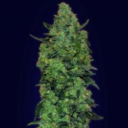 Auto Skunk Mass Cannabis Seeds