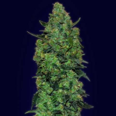 Auto Skunk Mass - Cannabis Seeds