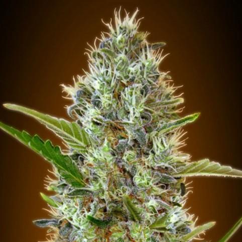 Auto Somango - Cannabis Seeds