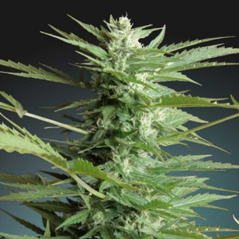 Auto Sweet Dwarf - Cannabis Seeds