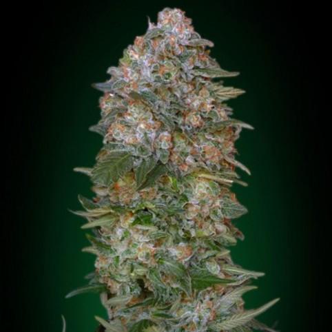 Critical Soma - Cannabis Seeds