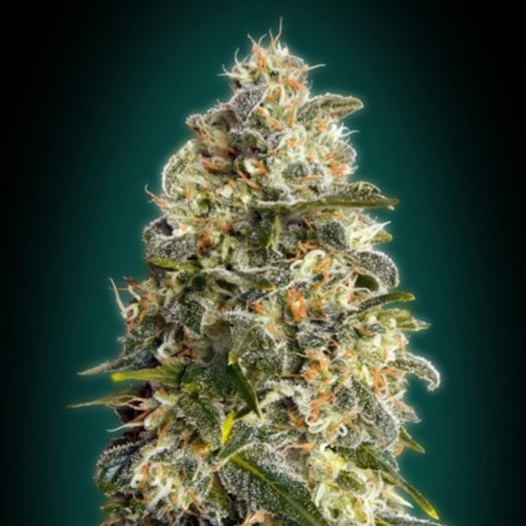 Heavy Bud - Cannabis Seeds