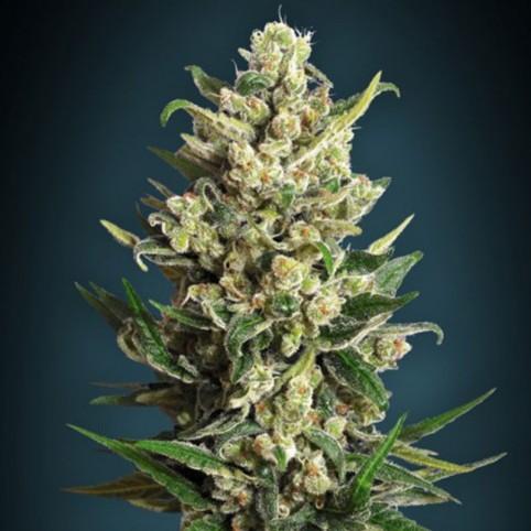 Ice Kush - Cannabis Seeds