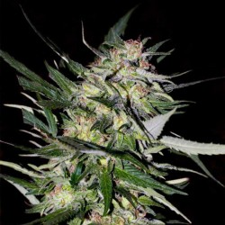 Advanced Feminised Collection #4 Cannabis Seeds