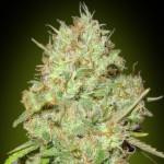 Advanced Feminised Collection #1 Cannabis Seeds