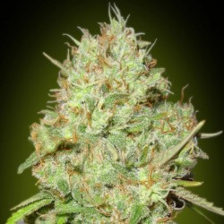 Shark Widow - Cannabis Seeds
