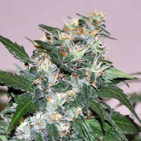 El Cid - Allstar Genetics - Marijuana Seeds