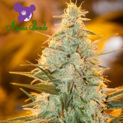 Amnesia Flash - Cannabis Seeds