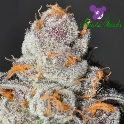 Anesia Scout Cookies - Cannabis Seeds