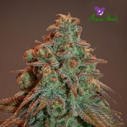 Auto Nova OG - Cannabis Seeds