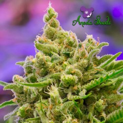 Big Bazooka Auto - Cannabis Seeds
