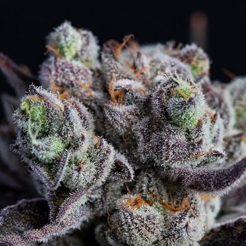 Blackberry Moonrocks - Feminized Seeds