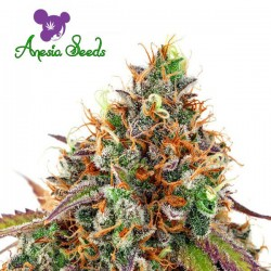Cherry Kiss - Feminized Seeds