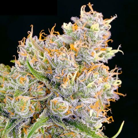 Future #1 - Cannabis Seeds