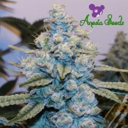 Gorilla Glue #4 - Feminized Seeds