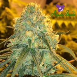 Hawaiiana - Feminized Seeds