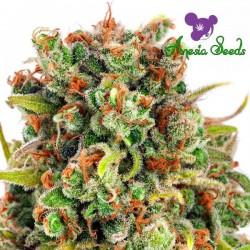 Mandarine 47 - Cannabis Seeds