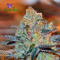 Orient Express - Anesia Cannabis Seeds