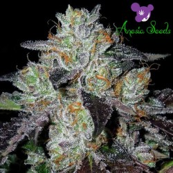 Purple Domina Strain