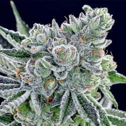 Sour Betty