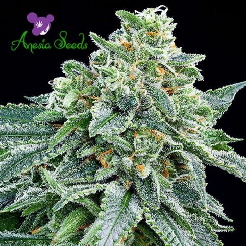 Strawberry Tree - Cannabis Seeds